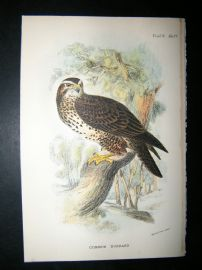 Allen 1890's Antique Bird Print. Common Buzzard